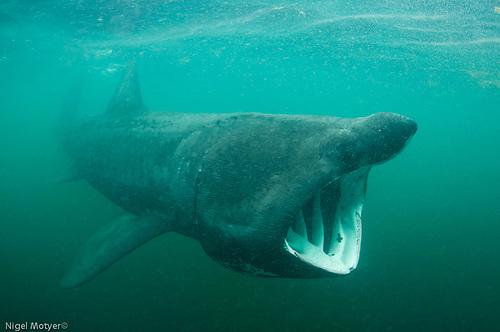 A Basking Shark in Irish waters Photo: Nigel Motyer