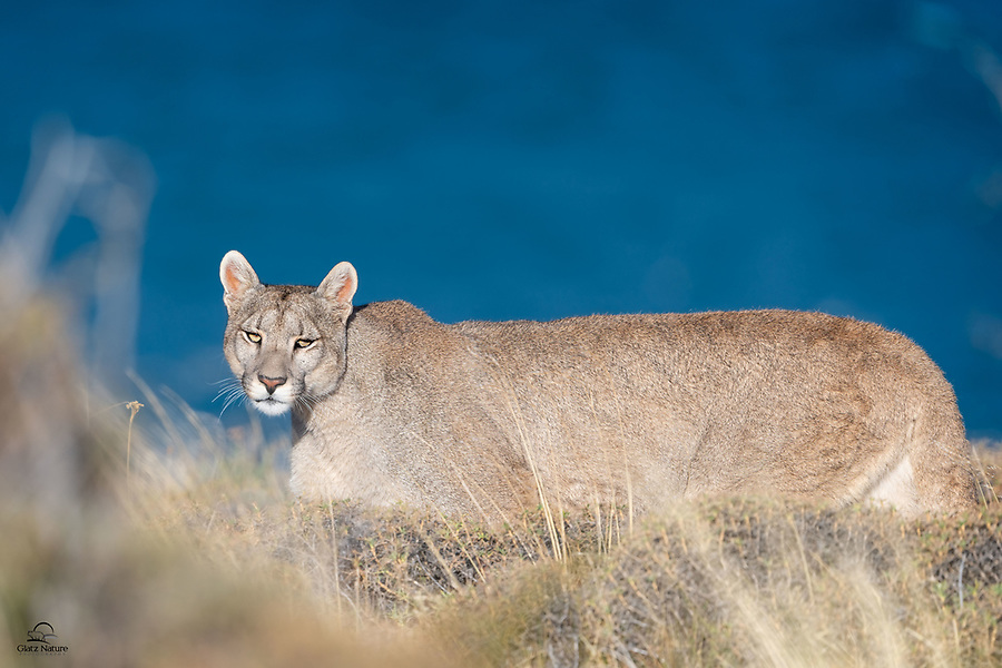 Our tracker Junior located her chilling out on a hill overlooking Lago Sarmiento. The brilliant deep blue of the lake provided the perfect compliment to her light tawny color. Petaca, a wild female Puma (Puma concolor), made her way through deep, thick brush along the shore of the lake for which her mother Sarmiento was named. A brief moment of eye contact with this beautiful cat took our breath away.