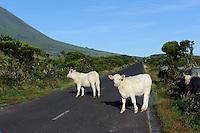 Kühe vor Pico Alto auf der Insel Pico, Azoren, Portugal