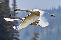 A pair of trumpeter swans takes off into the summer sun along Beaver Creek in interior Alaska.
