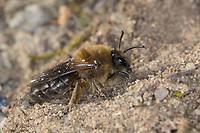 Frühlings-Seidenbiene, Weiden-Seidenbiene, Seidenbiene, Seidenbienen, Colletes cunicularius, Spring Colletes, vernal colletes, Spring mining bee, la collète des sablières