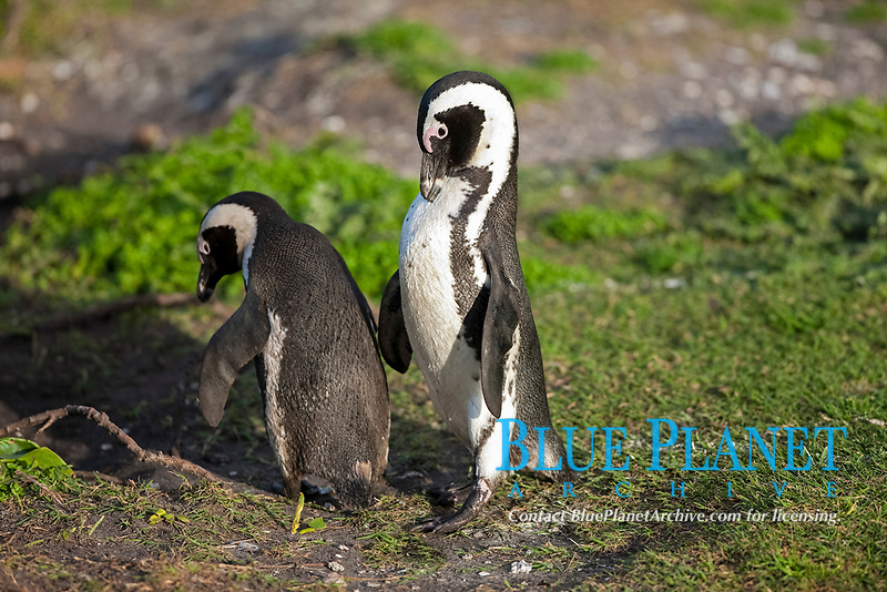 African penguin, jackass penguin, or black-footed penguin, Spheniscus demersus, Betty's Bay, Western Cape, South Africa