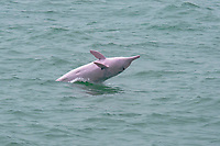 Chinese white dolphin or Indo-Pacific Ocean humpback dolphin, Sousa chinensis, adult female breaching, Hong Kong, Pearl River Delta