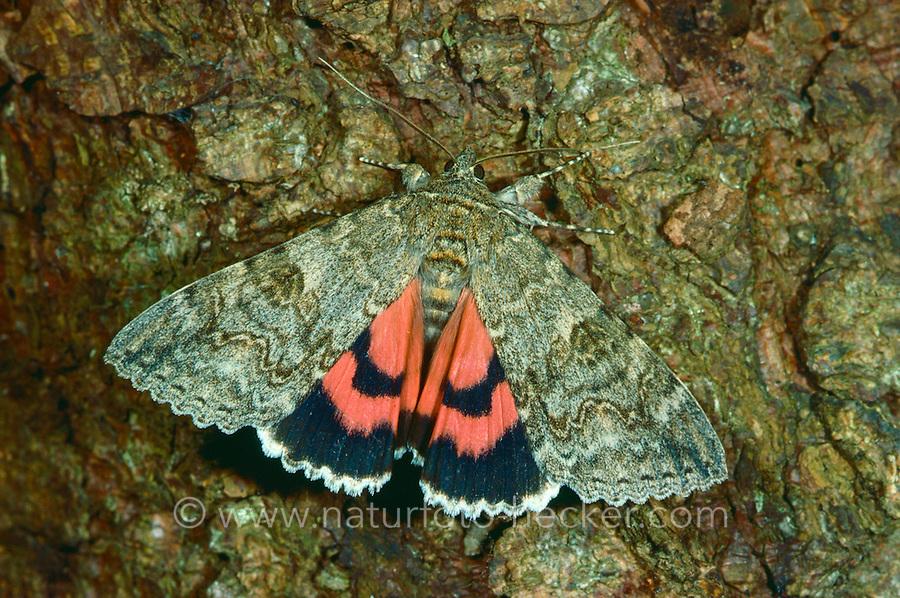 Rotes Ordensband, Schmetterling des Jahres 2015, Catocala nupta, Phalaena nupta, Red Underwing, Red Underwing Moth, lichénée rouge
