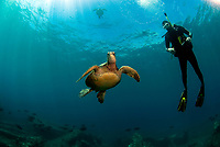 green sea turtle, Chelonia mydas, and scuba diver, Turtle Crater dive site, Hawaii Kai, Maui, Hawaii, USA, Pacific Ocean