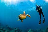 green sea turtle, Chelonia mydas, and scuba diver, Turtle Crater dive site, Hawaii Kai, Maui, Hawaii, USA, Pacific Ocean