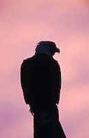Bald Eagle, Haliaeetus leucocephalus,adult at dawn sunrise, Homer, Alaska, USA, March 2000