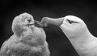 Thalassarche melanophris<br /> <br /> Black browed albatross bonding with its chick.