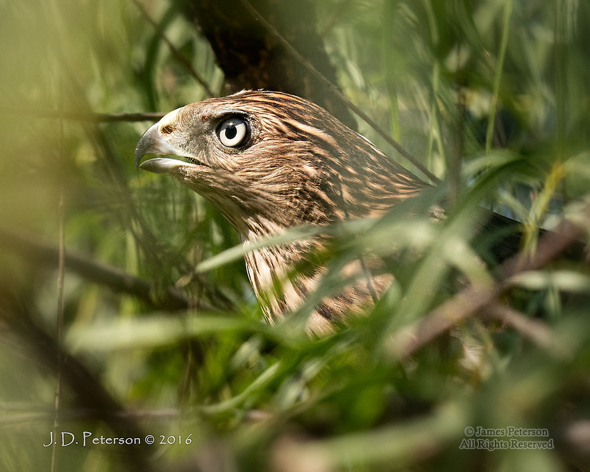 First Taste of Freedom  © 2016 James D Peterson.  A young Cooper's Hawk, raised in a wildlife shelter but trained to live in the wild, surveys its creekside habitat seconds after being released.