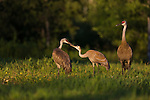 Family of sandhill cranes