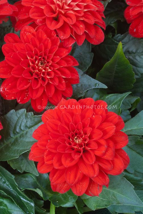 Dahlia 'Bermuda Beach' red