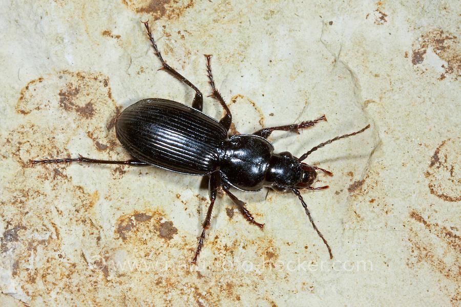 Rundhals-Grabläufer, Rundhals-Grabkäfer, Gebüsch-Grabläufer, Pterostichus madidus, Black Clock Beetle, black garden beetle, ground beetle