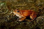 California Red-legged Frog (Rana draytonii) female, Elkhorn Slough, Monterey Bay, California