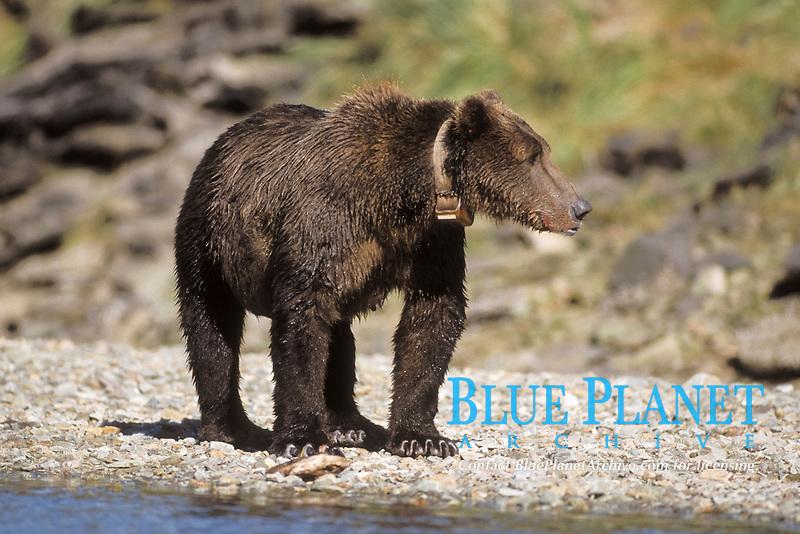 brown bear, Ursus arctos, grizzly bear, Ursus horribilis, mother fishing for pink salmon, note collar, east coast of Katmai National Park, Alaska, USA