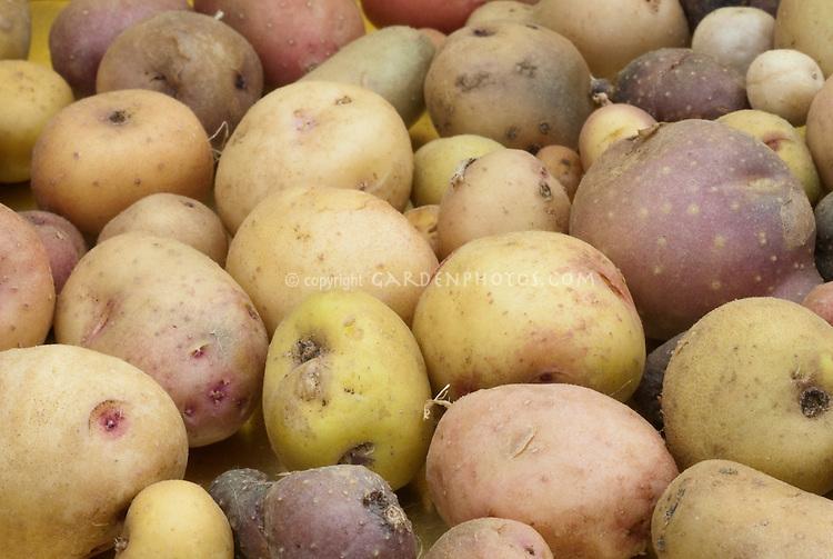 Domesticated potatoes Solanum stenostomum 24 chromosomes diploid