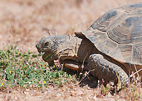 A female desert tortoise, Gopherus agassizi, feeds on annual plants at the Desert Tortoise Natural Area, Mojave Desert, California. The tortoise is a state- and federally-listed Threatened Species.
