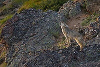 Wild Coyote (Canis latrans) howling in late evening.  Western U.S., Summer.