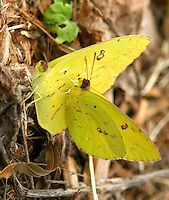 Pair of cloudless giant sulphurs