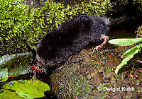 MB10-002z  Star-nosed Mole - drinking from pool - Condylura cristata