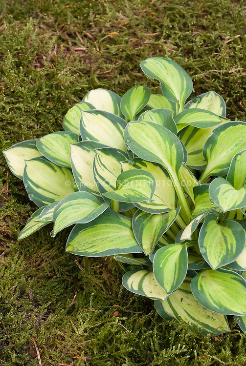 Hosta Holy Mouse Ears variegated foliage plant, small dwarf perennial, with yellow center and green edging