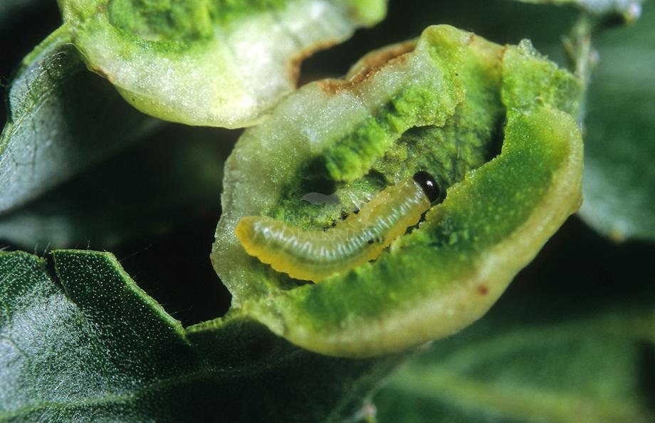 Gal met larve van Bladwesp (Pontania proxima) op schietwilg