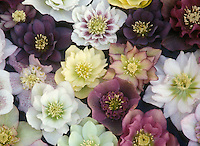 Mixture of Helleborus hybridus - anemone-centered and double flowered seedlings, cut flowers arranged together flat for comparison