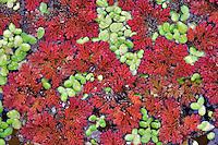 Green duckweek and fairy moss (azolla) in water garden. Hughes Water Gardens. Oregon