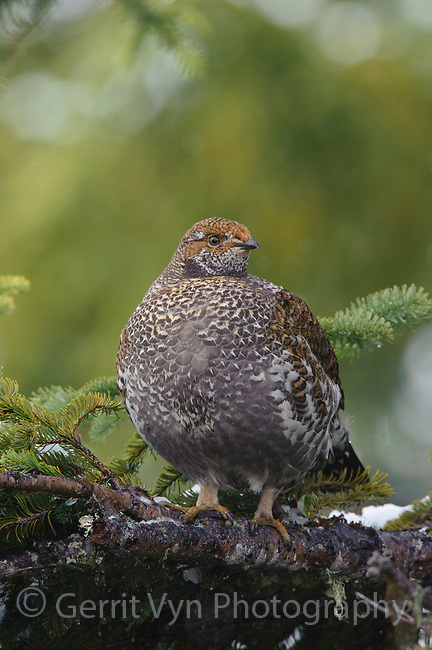 Adult female Sooty Grouse foraging in a fir. Sooty Grouse feed almost exclusively on conifer needles and buds during the winter months. Pierce County, Washington.