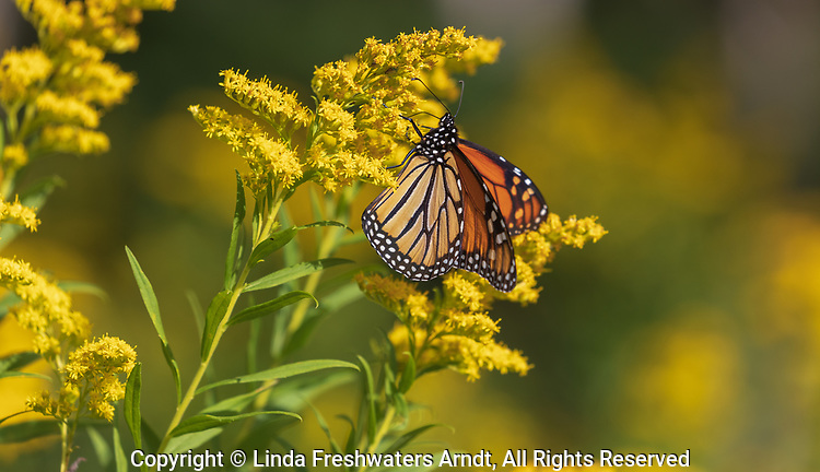 Monarch butterfly on a goldenrod in northern Wisconsin.