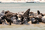 Gray Seals hauled out on the Chatham Bars, Cape Cod.  Large bull is in the middle of the frame lifting up his head.