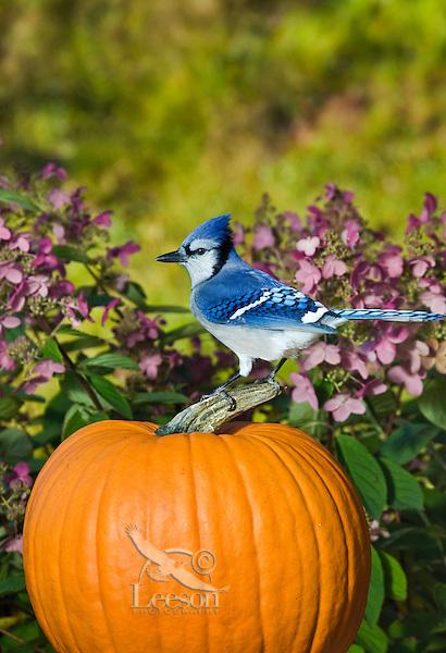 Blue Jay (Cyanocitta cristata) in backyard garden resting on autumn pumpkin.  Nova Scotia. Canada.