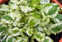 Barbarea vulgaris 'Winter Cream' aka B. vulgaris 'Variegated Winter Cream in pot (Variegated Cress, Land cress salad crop)