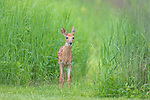 White-tailed fawn standing next to the tall grass in northern Wisconsin.