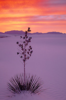 Soaptree yucca<br />   and San Andreas Mountains<br /> White Sands National Monument<br /> New Mexico
