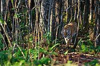 Bengal Tiger (Panthera tigris tigris)