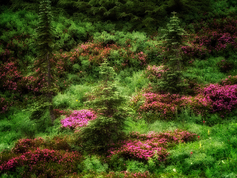 Field of heathter and trees. Mt. Rainier National Park, Washington