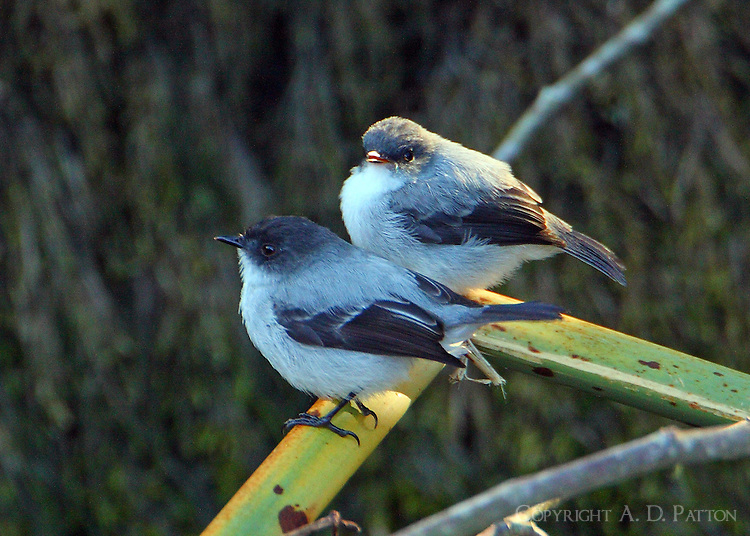 An adult and fledgling torrent tyrannulet. The adult bird, the bird in front, returned repeatedly to feed the baby. The birds were found on the rocks and branches at the Savegre River.
