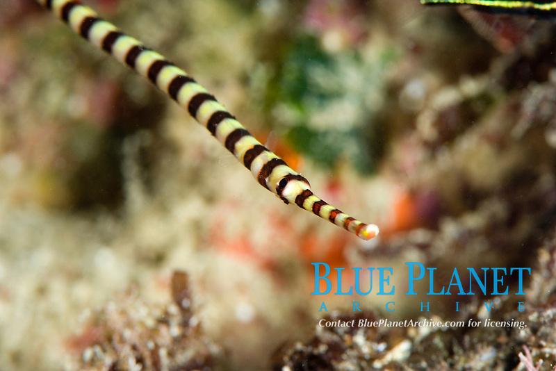 Ringed pipefish, dunckerocampus dactyliophorus, grows to 18cm, indo-pacific