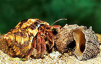 1Y30-080z   Land Hermit Crab attempting to find new shell as home - Coenbita spp..
