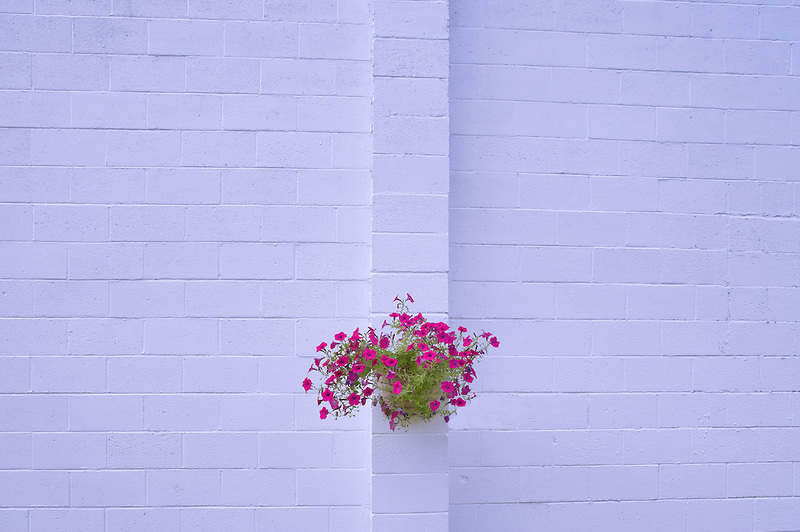 Petunia basket on white wall. Halfway. Oregon