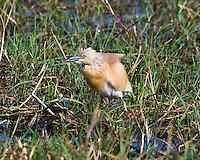 Sqacco Heron, Chobe Riverfront, Botswana