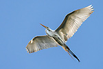 Damon, Texas; a great egret flying overhead with wings spread against a clear blue sky in late afternoon sunlight