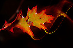 Pittsburgh, PA October 17, 2013  oak leaf at night appearing to be in motion in mt. lebanon with the camera panning and strobe.
