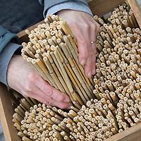 Schilf-Nisthilfe, Nisthilfe aus Schilf, Schilfhalm, Schilfhalmen. Schritt 2: Schilfmatte wird mit einer scharfen Gartenschere in Streifen zerschnitten und anschließend werden die Schilfhalm-Rollen in eine Holzkiste, Kiste gefüllt. Wildbienen-Nisthilfen, Wildbienen-Nisthilfe selbermachen, selber machen, Wildbienenhotel, Insektenhotel, Wildbienen-Hotel, Insekten-Hotel