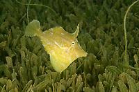 Fringed Filefish (Monacanthus ciliatus) , in sea grass, St. Vincent, Caribbean, Atlantic