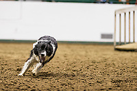 2019 Mn Stock Dog Trials<br /> <br /> Tam