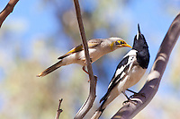 Yellow-Throated Miner, Ti Tree camp, NT Outback, Australia