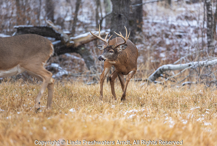 White-tailed buck during the rut in northern Wisconsin.