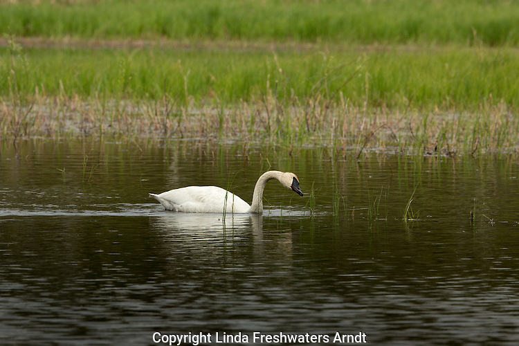 Trumpeter swan foraging on a wilderness lake in northern Wisconsin