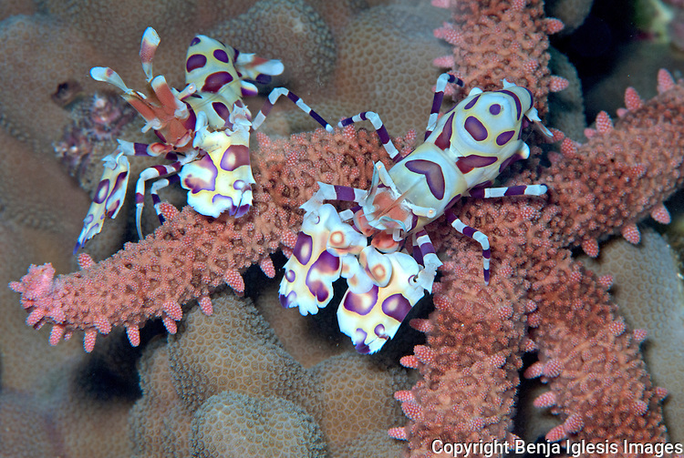A couple of Harlequin shrimp over a star, they would feed on seastar, wich they turn over and devour alive over a period of days.